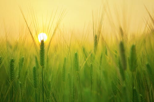 Better yields expected in EU barley