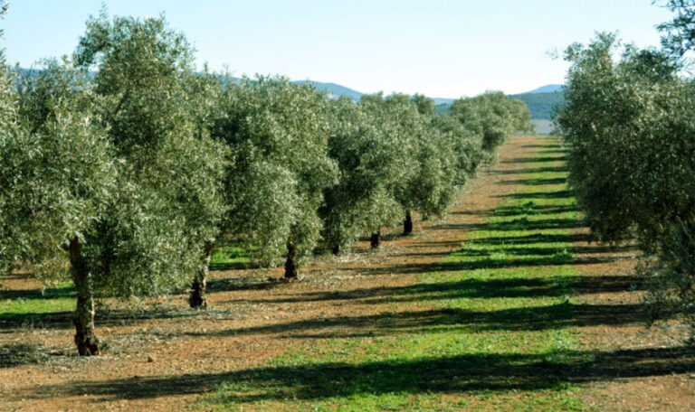 Olive orchards within the framework of the CONSOLE Project